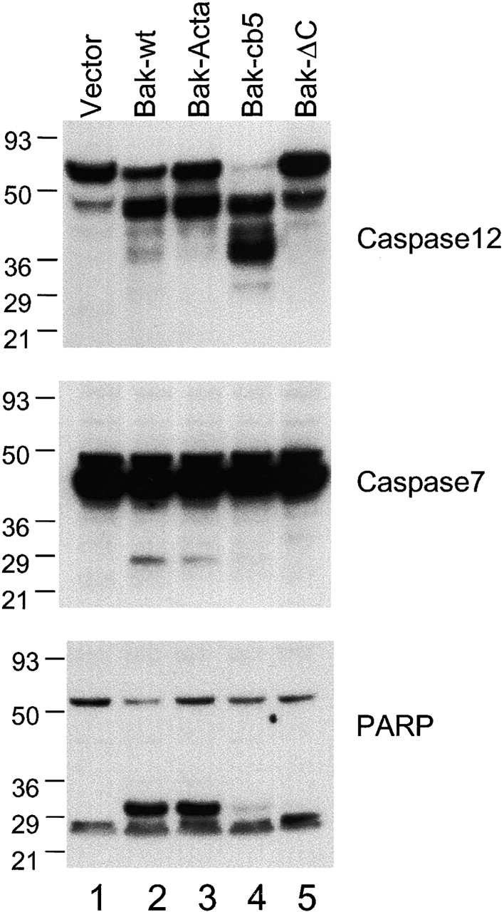 ER-targeted Bak can induce selective cleavage of caspase 12, but not of caspase 7. bax − / − bak − / − cells were infected with GFP vector control, Bak-IRES-GFP, Bak-ActA-IRES-GFP, Bak-cb5-IRES-GFP, and Bak-ΔC-IRES-GFP at a high multiplicity. After infection, cells were lysed. Caspase 12, caspase 7, or PARP were detected by immunoblotting using respective antibodies.