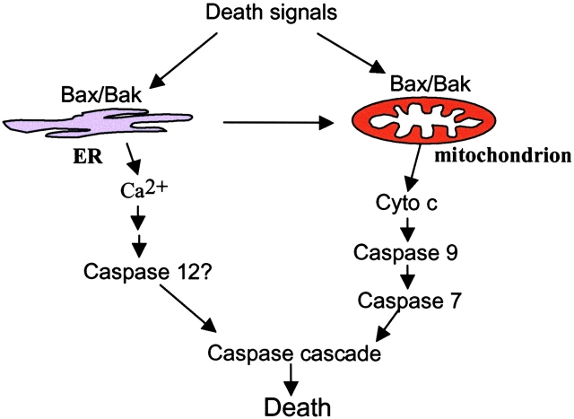 Bax and Bak localized to the ER can initiate apoptosis. In addition to their mitochondrial localization and activity, Bax and Bak also reside at the ER. Upon ER stress treatment, Bax and Bak can initiate apoptosis from the ER.