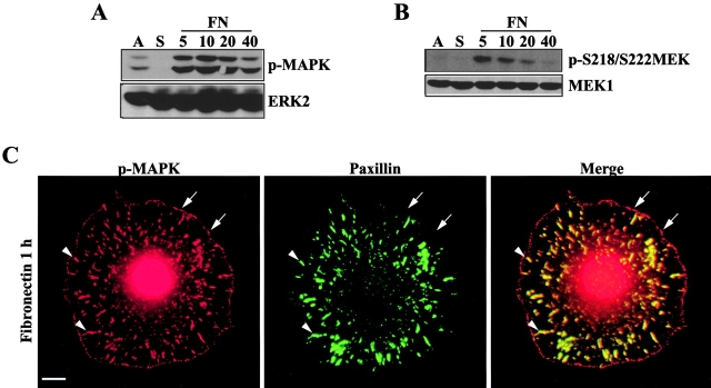 Adhesion stimulates MAPK and MEK phosphorylation. REF52 cells were either continuously adherent (A) or suspended (S) and plated on FN for 5, 10, 20, or 40 min. Whole cell lysates were blotted with antiserum specific for (A) phosphorylated MAPK (p-MAPK; top) or ERK2 (bottom), or (B) MEK1 phosphorylated on S218/S222 (p-S218/222MEK1; top) or MEK1 (bottom). (C) REF52 cells were suspended for 1 h and plated on FN for 1 h before co-staining for p-MAPK (red) and paxillin (green). The arrows indicate focal complex-like structures containing p-MAPK; arrowheads indicate paxillin-containing focal adhesions. Bar, 10 μm.