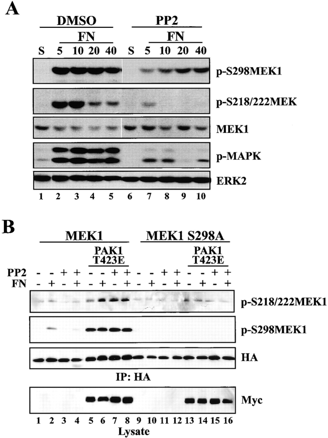 Src inhibition alters PAK-mediated MEK phosphorylation. (A) REF52 cells were incubated in suspension with 50 μM PP2 or DMSO control (S) and plated on 10 μg/ml FN for 5, 10, 20, or 40 min in the continued presence or absence of PP2. Whole cell lysates were blotted with p-S298MEK1, p-S218/S222MEK1, MEK1, p-MAPK, or ERK2 antisera. Densitometric analysis demonstrated that the intensity of p-S298MEK1 after a 5-min plating on FN in the presence of 50 μM PP2 was ∼28% the level of the DMSO-treated control when normalized to an MEK1 loading control. The observed decrease in p-MAPK levels in lane 9 was not reproducible. (B) REF52 cells were cotransfected with HA-tagged MEK1 constructs and PAK1 T423E or vector control, incubated in suspension with 50 μM PP2 or DMSO control (S) and plated on FN for 20 min. Anti-HA immunoprecipitates were formed and blotted with pS218/S222 antiserum (top), HA antiserum (second [from top] panel), and subsequently with anti-pS298MEK1 (third [from top] panel). Western blotting of lysates with anti-myc antiserum confirmed expression of activated PAK1 (bottom).