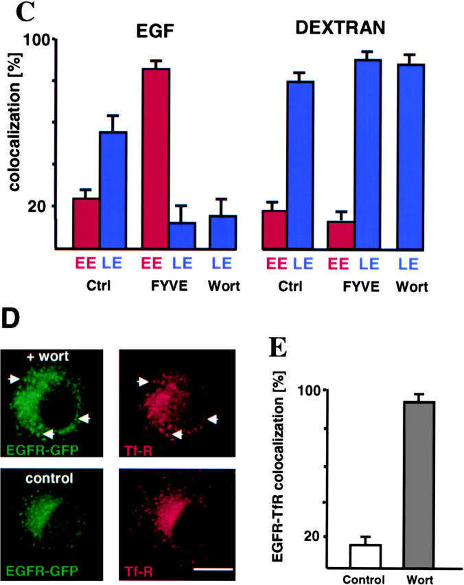 PI3P signaling regulates EGFR sorting in early endosomes. (A) Cells expressing EGFR-GFP (pretreated with EGF, as in Fig. 1 A) were incubated for 10 min at 37°C with rhodamine-dextran, followed by a 90-min chase with 100 nM wortmannin, labeled with antibodies against the indicated antigens and analyzed by triple channel fluorescence. (B) Cells transfected with GFP-2xFYVE were incubated with EGF-biotin and streptavidin-phycoerythrin for 1 h at 4°C and then for 10 min at 37°C followed (chase) or not (pulse) by a 90-min chase in the presence of leupeptin, labeled with antibodies against the indicated antigens and analyzed by triple channel fluorescence. (C) Cells expressing GFP-2xFYVE (FYVE), or treated (wort) or not treated (control: ctrl) with wortmannin were labeled with endocytosed EGF-biotin/streptavidin-phycoerythrin (as in B) or dextran (as in A), except that the chase time period was 45 min, and then processed for immunofluorescence using antibodies against the early endosomal (EE) marker EEA1 or the late endosomal (LE) marker LBPA, as indicated. For each condition, the total number of vesicles labeled with EGF or dextran was counted from ≥15 cells in three different experiments (expressed as 100%), as well as the percentage of these vesicles that also contained the EE (EEA1 in control cells; FYVE in FYVE-expressing cells) or the LE endosomal marker LBPA (except with wortmannin, since the drug releases EEA1). (D) After EGF pretreatment (as in Fig. 1 A), cells overexpressing EGFR-GFP were incubated for 10 min at 37°C followed (chase) or not (pulse) by a 35-min chase with wortmannin (wort) and processed for immunofluorescence. (E) The number of vesicles in D that contained both GFP-EGFR and TfR was counted, and is expressed as a percentage of the total number of GFP-EGFR–positive vesicles (C). Bars: (A and B) 2.5 μm; (D) 5 μm.
