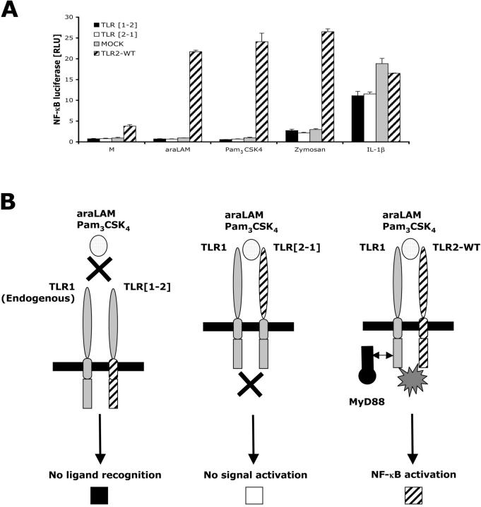 Neither the intracellular nor the extracellular domain of TLR2 is sufficient to confer NF κ B signal activation. (A) HEK293-CD14 cells were transfected with either TLR [1–2] or TLR [2–1] DNA encoding chimeric protein and wild-type TLR2 DNA. After 6 h of stimulation with 1 μg/ml araLAM, 100 ng/ml Pam 3 CSK 4 , or 10 μg/ml zymosan, cells were lysed and NFκB luciferase reporter gene activity was measured. IL-1β was used as a positive control. (B) A schematic model of separate TLR1 and TLR2 chimeric protein transfection. With TLR1 endogenously expressed, transfection only of the intracellular portion of TLR2 (TLR [1–2]) does not confer responsiveness as a result of missing TLR2 extracellular domain causing ligand recognition failure. Transfection with only the extracellular portion of TLR2 (TLR [2–1]) is not sufficient to confer responsiveness because the TLR1 intracellular domain lacks the TLR2 intracellular domain for effective initiation of signaling pathways. With TLR1 endogenously present, transfection of TLR2-WT protein confers responsiveness by providing both extra- and intracellular domains needed for ligand recognition and signal activation respectively.