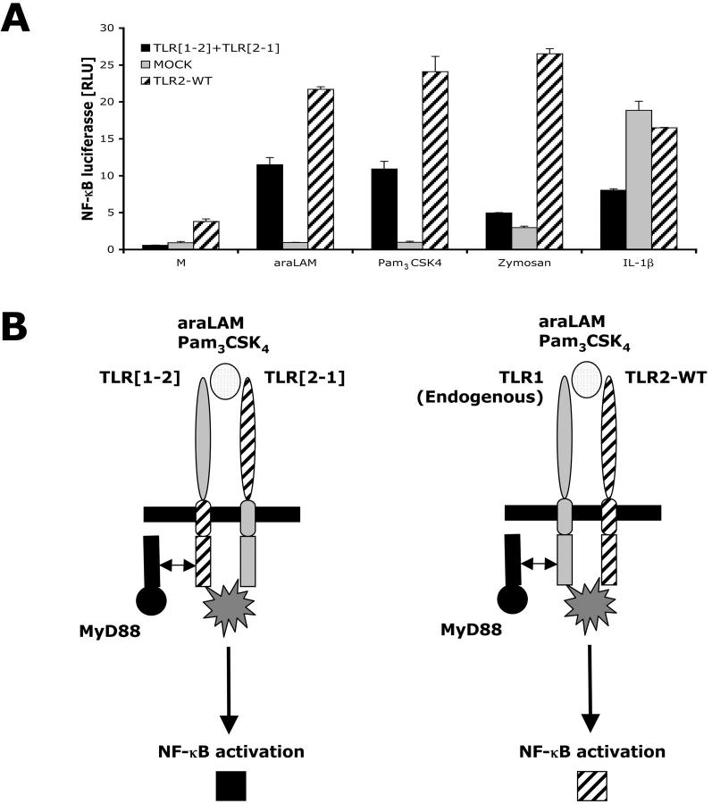 NF κ B signal activation requires both extracellular and intracellular domains of TLR1 and TLR2. (A) HEK293-CD14 cells were cotransfected with TLR [1–2] and TLR [2–1] DNA encoding chimeric proteins or wild-type TLR2 DNA. After 6 h of stimulation with 1 μg/ml araLAM, 100 ng/ml Pam 3 CSK 4 , or 10 μg/ml zymosan, cells were lysed and NFκB luciferase reporter gene activity was measured. IL-1β was used as a positive control. (B) A schematic model of cotransfection of TLR [1–2] and TLR [2–1] chimeric proteins. Co-transfection of both chimeric proteins confers responsiveness as a result of concomitant expression of both intracellular and extracellular domains of TLR1 and TLR2. With TLR1 endogenously present, transfection with TLR2-WT alone is sufficient to confer responsiveness.