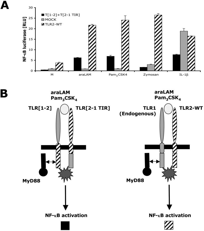 Heterologous expression of the extracellular domains of TLR1 and TLR2 together with heterologous expression of the TIR domains of TLR1 and TLR2 is sufficient for NF κ B signal activation. (A) HEK293-CD14 cells were cotransfected with TLR [1–2] and TLR [2–1 TIR] DNA encoding chimeric proteins or wild-type TLR2 DNA. After 6 h of stimulation with 1 μg/ml araLAM, 100 ng/ml Pam 3 CSK 4 , or 10 μg/ml zymosan, cells were lysed and NFκB luciferase reporter gene activity was measured. IL-1β was used as a positive control. (B) A schematic model of cotransfection of TLR [1–2] and TLR [2–1 TIR] chimeric proteins. Co-transfection of TLR [1–2] chimeric protein containing the entire intracellular domain of TLR2 (including the TIR domain) with the TLR [2–1 TIR] chimeric protein containing the TIR domain of TLR1, confers responsiveness. The transfected cells express the extracellular domains of TLR1 and TLR2 (ligand recognition) as well as both the TIR domains of TLR1 and TLR2 (signal transduction). With TLR1 endogenously present, transfection with TLR2-WT alone is sufficient to confer responsiveness.