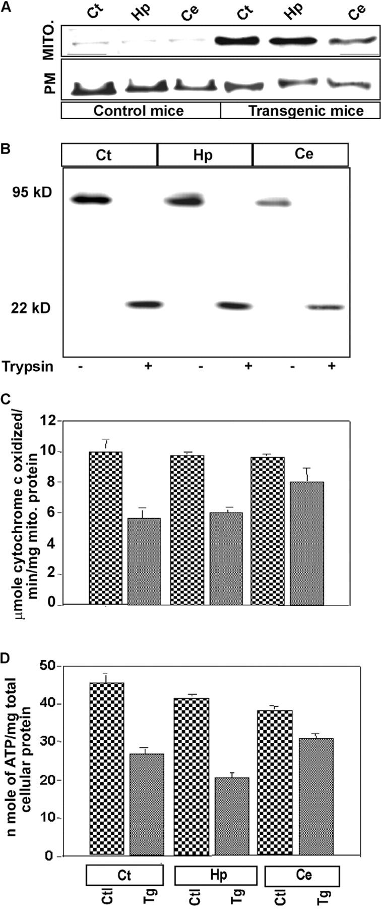 Mitochondrial-associated APP in the brains of transgenic mice overexpressing APP. (A) Mitochondria and PM fractions from different brain regions of control and SWEAPP (2576) transgenic mice (50 μg protein each) were subjected to immunoblot analysis using APP Nt Ab. (B) Mitochondria (50 μg) from different brain regions of transgenic mice overexpressing SW/APP (SWEAPP [2576]) were subjected to trypsin treatment (as described in Fig. 2 ) followed by immunoblot analysis with APP Nt Ab. (C) CytOX activity in total mitochondrial membrane fraction and (D) total cellular ATP levels were assayed as described in the Materials and methods. MITO., mitochondria; Ctl, control; Tg, transgenic; Ct, cortex; Hp, hippocampus; Ce, cerebellum.