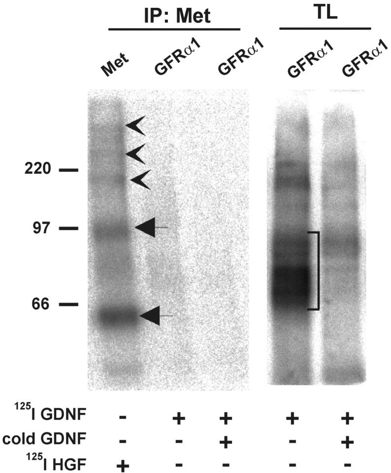GFRα1 does not complex with Met. Binding of 125 I-GDNF to COS7 cells transfected with gfr α 1 and 125 I-HGF to wild-type COS7 followed by cross-linking with EDC together with sulfo-NHS. Immunoprecipitates with anti-Met antibodies (IP:Met) were analyzed by SDS-PAGE under reducing conditions. In total lysates (TL), different complexes of 125 I-GDNF (monomers or dimers) and the dimers of GFRα1 are marked with a square bracket. 125 I-HGF α subunit and proHGF are marked by arrows. 125 I-HGF–Met complexes are indicated by arrowheads. The results are representative of five independent experiments.