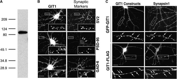 GIT1 is expressed in cultured hippocampal neurons and enriched in synapses. (A) Western blot of a lysate from day 10 cultured hippocampal neurons. The blot was probed with a GIT1 antibody. A specific band at ∼95 kD confirms the presence of the GIT1 protein in these neurons. (B) Hippocampal neurons at 2–3 wk in culture were double immunostained for endogenous GIT1 (left column) and various synaptic proteins (right column). GIT1 colocalizes with the presynaptic marker SV2 (top). GIT1 shows colocalization with PSD-95 in some puncta (arrowheads), but some GIT1 puncta, especially those on the cell body, do not overlap with PSD-95 (middle, arrows). These puncta show colocalization with the inhibitory synapse marker GAD-6 (bottom). Enlargements of the boxed regions are shown in insets at the bottom right of each panel. Bar, 20 μm. (C) Hippocampal neurons were transfected with either GFP-GIT1 (top) or GIT1-FLAG (bottom) and immunostained for the presynaptic marker synapsin1 at 3 wk in culture. Both GFP-GIT1 and GIT1-FLAG colocalize with synapsin1 in dendritic spines and shafts (arrows). Bar, 20 μm. (D) Hippocampal neurons were transfected with GFP-GIT1 and immunostained for the appropriate synaptic markers at 2–3 wk in culture. The GIT1 clusters on the dendrites (Dendritic) almost completely merge with the postsynaptic marker PSD-95 and are in close apposition to the presynaptic marker synapsin1 (Overlay). The GIT1 clusters on the axons (Axonal) completely merge with the presynaptic marker SV2 and are in close apposition to the postsynaptic marker PSD-95 (Overlay). Note the colocalization of GIT1 clusters with the synaptic markers (arrowheads). Enlargements of individual synapses are shown in the right column. GFP-GIT1 is pseudocolored green, and the synaptic markers are pseudocolored red. Bar, 2 μm.