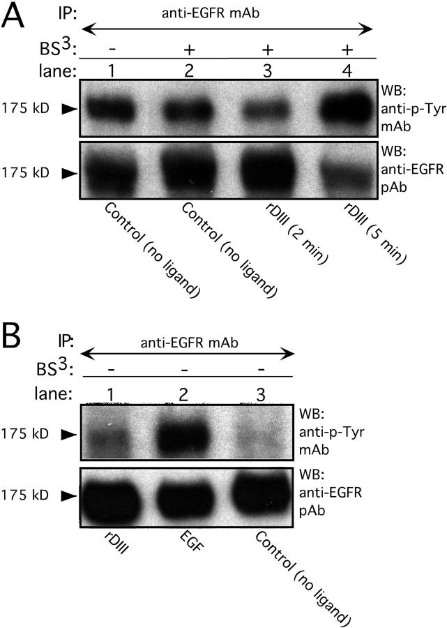 Induction of EGFR tyrosine phosphorylation by rDIII. (A) Incubation of MDA-MB-231 cells with 185 nM rDIII for 5 min (lane 4, top) stimulated phosphorylation of EGFR. There is no EGFR stimulation for the 2-min rDIII sample (lane 3), or the 5-min no ligand control (lane 1). To exclude nonspecific effects due to cross-linking, cells were exposed to BS 3 in the absence of ligand (lane 2). To ensure that equal amounts of EGFR protein were loaded, blots were stripped and reprobed with EGFR pAb (bottom). (B) EGFR phosphorylation by 185 nM rDIII (lane 1, top) and 1.7 nM EGF (lane 2) for 5 min in the absence of BS 3 . For control, ligand was omitted (lane 3), and the loading controls are shown in the bottom panel.