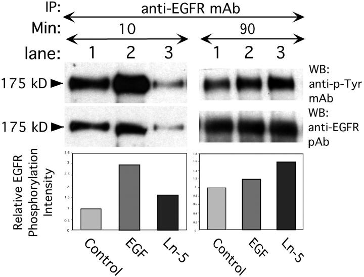 Induction of EGFR tyrosine phosphorylation by intact Ln-5. Treatment of MDA-MB-231 cells with 1.7 nM EGF for 10 min at 37°C results in significant phosphorylation of 175 kD EGFR (lane 2, left panels) over control (lane 1, no ligand), whereas 2.5 nM purified Ln-5 causes only weak EGFR phosphorylation (lane 3). Stimulation of cells for 90 min (right panels) with Ln-5 (lane 3) results in an EGFR phosphorylation signal well above control (lane 1). In contrast, incubation of cells for 90 min in the presence of EGF (lane 2) diminished the signal toward background level (lane 1).