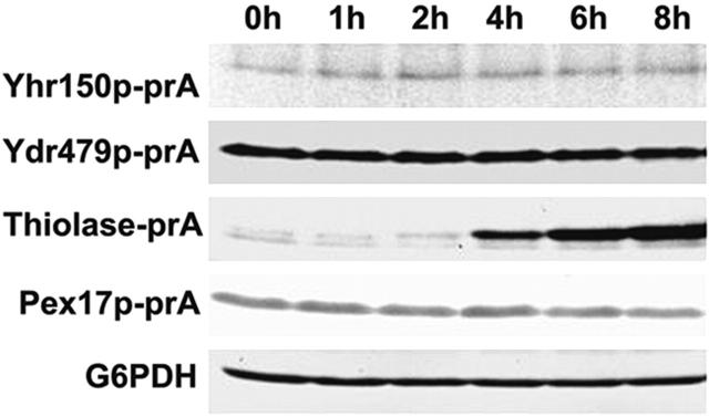 Yhr150p-prA and Ydr479p-prA remain at constant levels during incubation of S. cerevisiae in oleic acid–containing medium. Cells were grown for 16 h in glucose-containing YPD medium and then transferred to, and incubated in, oleic acid–containing YPBO medium. Aliquots of cells were removed from the YPBO medium at the times indicated, and total cell lysates were prepared. Equal amounts of protein from the total cell lysates were analyzed by SDS-PAGE and immunoblotting to visualize the protein A fusions. Antibodies directed against glucose-6-phosphatase (G6PDH) were used to confirm the loading of equal protein in each lane.