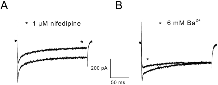 Effect on the inward current of the dihydropyridine compound <t>nifedipine</t> and of a substitution of Ba 2 + for Ca 2 + . (A) Currents were obtained on the same cell in response to a voltage pulse to +10 mV from a holding potential of –70 mV. The star indicates the current evoked after addition of 1 μM nifedipine in the external solution. (B) Currents were evoked on the same cell in response to a voltage pulse to +10 mV from a holding potential of –70 mV. The star indicates the current evoked after substitution of 6 mM Ba 2+ for 6 mM Ca 2+ in the external solution.