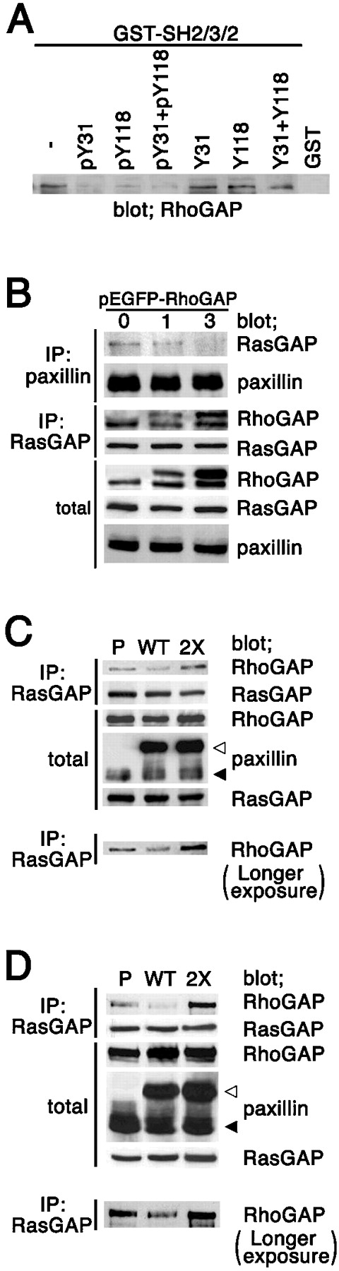 Competition of Tyr31/118-phosphorylated paxillin with p190RhoGAP for binding to p120RasGAP. (A) 3Y1/v-Src cell lysates were incubated with the p120RasGAP GST-SH2-SH3-SH2 protein, preincubated with a paxillin peptide (or combinations of peptides) as in Fig. 3 E. The control included the GST fusion protein without incubation with peptides (−). Proteins precipitated were analyzed by anti-p190RhoGAP immunoblotting. (B and C) COS7 cells were transiently transfected with 0, 1, or 3 μg of pEGFP-RhoGAP, as indicated (B), or transfected with 3 μg of pBabe/EGFP-paxillin (WT) or 3 μg of pBabe/EGFP-paxillin 2X (2X), as indicate (C). Mock-transfected cells were also included (C, P). 24 h later, cells were detached from culture dishes by incubation with PBS containing 5 mM EDTA, washed, and replated onto collagen type I–coated dishes in the presence of 0.5% BSA for 1 h. Cells were then lysed, and protein coprecipitation was analyzed using an anti-paxillin antibody coupled with anti–mouse IgG-Sepharose beads (B), or an anti-RasGAP antibody (clone B4F8) coupled with protein A-Sepharose beads (C). Protein immunoblotting was performed as indicated, with immunoprecipitated proteins (IP) and total cell lysates (Total). (D) Amounts of p190RhoGAP coprecipitating with p120RasGAP using antibody B4F8 were analyzed, as above, with cell lysates from parental NMuMG cells (P), or NMuMG cells expressing EGFP-paxillin (WT) or cells expressing the 2X mutant (2X), all pretreated with TGFβ. (C and D) To show the difference in the amounts of p190RhoGAP coprecipitating with p120RasGAP, a longer exposure of the immunoblots shown on the top of each panel, is also shown at the bottom. Exposure time was 15 s for the top, and 2 min for the bottom. (B–D) Total cell lysates were included as controls (Total). Molecular sizes are shown on the left. ▴, endogenous paxillin; ▵, EGFP-tagged paxillin.