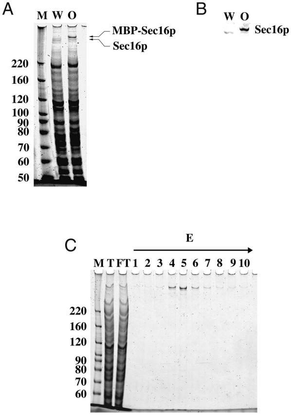 Overexpression and purification of MBP–Sec16p. (A) Protein composition of salt extracts from ER-enriched microsomes. 100 μg of microsomal membrane proteins from either wild-type FSY3 strain (W) or MBP–Sec16p-overproducing FSY9 strain (O) were incubated on ice in a 100-μl reaction containing 0.5 M NaCl for 15 min. After incubation, mixtures were centrifuged and 10 μl of supernatant fractions were separated on 6% SDS-PAGE and stained with SYPRO red. The left lane contains molecular weight standards (M). (B) Proteins were transferred to nitrocellulose and probed with anti-Sec16p antibody. (C) Salt extract from a 10,000 g membrane pellet was passed through a 6-ml amylose-agarose column and the bound protein was eluted with buffer containing 10 mM maltose. 10 1-ml fractions were collected. 2 μl of salt extract (T), flowthrough (FT), and fractions (E1–10) were separated on 6% SDS-PAGE and stained with SYPRO red stain.