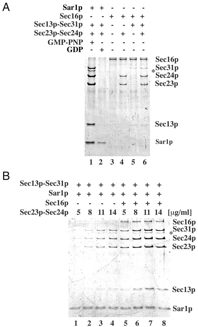 Binding of MBP–Sec16p and COPII proteins to major–minor mix liposomes. (A) Liposomes (corresponding to 25 μg of phospholipids) were incubated with indicated combinations of COPII proteins, MBP–Sec16p, and nucleotides (16 μg/ml Sar1p, 17 μg/ml Sec23/24p, 20 μg/ml Sec13/31p, 10 μg/ml MBP–Sec16p, and 0.1 mM GDP or GMP-PNP) for 15 min at 30°C in 250-μl reactions and then floated on top of a 0.7-M sucrose cushion. Equal amounts of lipids, measured using fluorescent phospholipids ( Matsuoka et al., 1998 ), from floated fractions were applied to 11% SDS-PAGE and stained with SYPRO red. (B) Titration of Sec23/24p. The same amounts of Sar1p, Sec13/31p, MBP–Sec16p, and liposomes as in A were incubated with the indicated amounts of Sec23/24p in the presence of 0.1 mM GMP-PNP, and the binding of proteins was analyzed after liposome flotation. The asterisk indicates a truncated form of Sec31p.