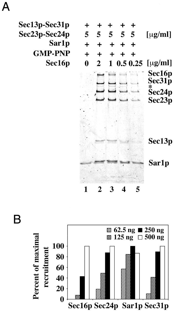 Titration of MBP–Sec16p in a liposome binding reaction. (A) Indicated concentrations of MBP–Sec16p were used for supplementation of binding reactions containing major–minor mix liposomes, COPII proteins (16 μg/ml Sar1p, 5 μg/ml Sec23/24p, and 20 μg/ml Sec13/31p), and GMP-PNP (0.1 mM). The asterisk indicates a truncated form of Sec31p. (B) Quantitation of bound proteins shown in A. The amounts of MBP–Sec16p present in 250-μl reactions are listed in the upper right corner of the graph.