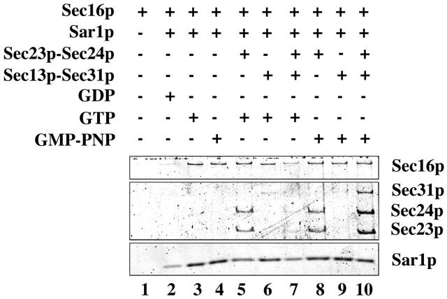 Effect of MBP–Sec16p and GTP/GMP-PNP on COPII protein recruitment to DOPC/DOPE liposomes. DOPC/DOPE liposomes (corresponding to 25 μg of phospholipids) were incubated with various combinations of COPII proteins, MBP–Sec16p, and nucleotides (48 μg/ml Sar1p, 17 μg/ml Sec23/24p, 20 μg/ml Sec13/31p, 10 μg/ml MBP–Sec16p, and 0.1 mM GDP, GTP, or GMP-PNP) for 15 min at 30°C in a 250-μl reaction. Proteins bound to liposomes were recovered by flotation, resolved on SDS-PAGE, and stained with SYPRO red.