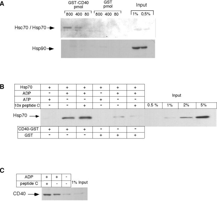 Binding of Hsp70 to CD40 is direct and depends on ADP. (A) HeLa cell lysates were incubated with GST (control) or GST-CD40 in the amounts indicated. Thereafter, samples were affinity-purified on glutathione-sepharose as outlined in Materials and methods, subjected to SDS-PAGE, and analyzed by immunoblotting with antibodies directed against Hsc70 and Hsp70 (top lanes), and against Hsp90 (bottom lanes). (B) Human recombinant His6-tagged Hsp70 was incubated with ATP, ADP, or an excess of peptide C, followed by addition of CD40-GST or GST alone. After affinity purification, samples were analyzed by immunoblotting as described in A, using antibodies directed against the His6 tag. (C) Recombinant human His6-tagged Hsp70 was incubated with peptide C, either in the presence or absence of ADP. The reactions were then incubated with ANA-1 cell lysates as described in Materials and methods. Protein bound to Hsp70 was analyzed by affinity purification on Ni-NTA agarose and immunoblotting with antibodies directed against CD40. Input reflects the amount of protein subjected to affinity purification.