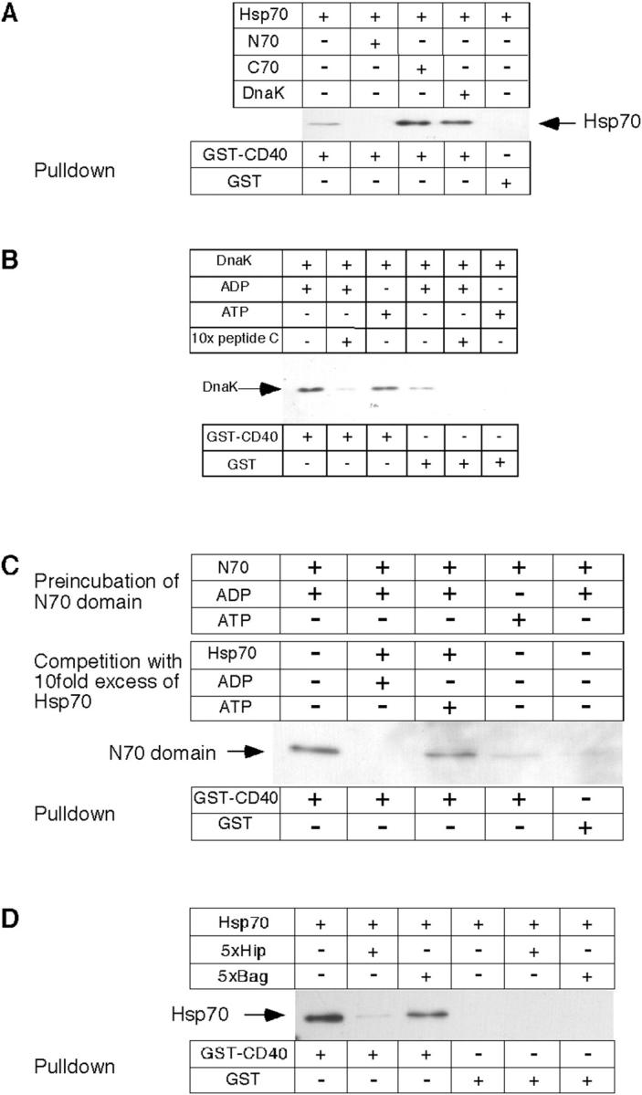 Hsp70 binding to CD40 is mediated by the NH 2 -terminal ATPase domain and is competed by Hip. (A) Human His6-tagged Hsp70, its NH 2 - or COOH-terminal domains, or recombinant bacterial DnaK was incubated either with GST-CD40 or with GST. (B) Recombinant DnaK was incubated with ADP, ATP, or an excess of peptide C, followed by addition of GST-CD40 or GST alone. (C) His6-tagged N70 was incubated in the presence of ADP or ATP, followed by incubation with a 10-fold molar excess of Hsp70 in the presence of ADP or ATP. (D) Recombinant human His6-tagged Hsp70 protein was incubated with a fivefold molar excess of either recombinant Hip protein or Bag-1, and with GST-CD40 or GST as a control. Bound protein was analyzed after affinity purification on glutathione-sepharose by immunoblotting with an antibody directed against the NH 2 -terminal His6 tags, or with an antibody directed against DnaK.