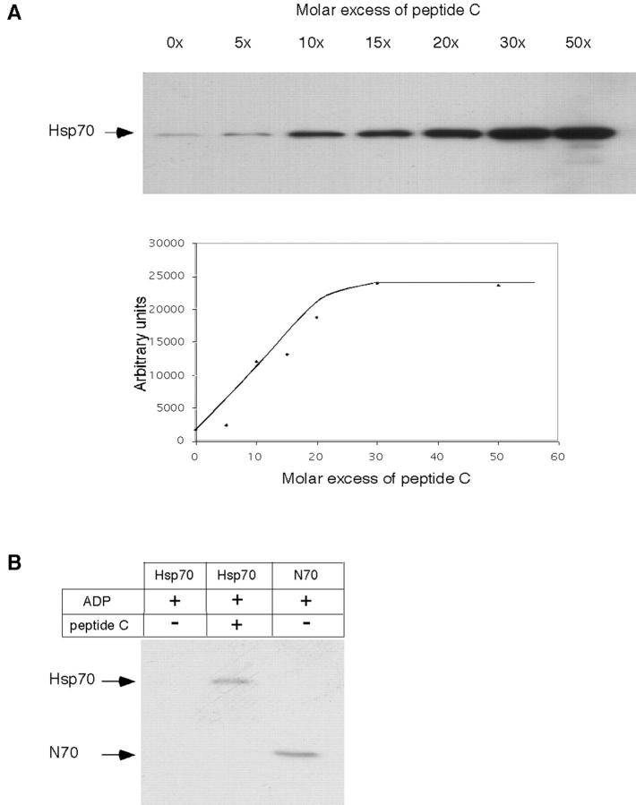 Peptide substrate stimulates Hsp70 binding to CD40. (A) His6-tagged Hsp70 was incubated with increasing concentrations of peptide C as indicated, and binding to GST-CD40 was analyzed by immunoblotting with antibodies directed against the His6-tag. The bottom panel is a quantitation of the data. (B) Equivalent concentrations (3 μM) of His6-tagged Hsp70 (in the presence of 2 mol ADP and in the absence or presence of a 30-fold molar excess of peptide C) or His6-tagged N70 were incubated with GST-CD40, and bound protein was analyzed as described for panel A.