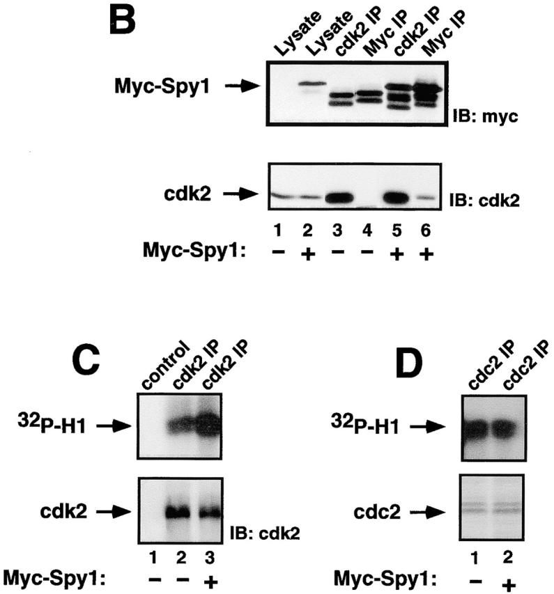 Human Spy1 binds to and activates cdk2. (A) Indirect immunofluorescence on COS-1 cells transiently transfected with human myc-tagged Spy1 (myc–Spy1; bottom left) or with empty vector (mock; top left) shows myc–Spy1 in the nucleus. The corresponding panels on the right are stained with Hoechst dye to illuminate the nuclei of all the cells present. (B) Coimmunoprecipitation of transiently transfected myc–Spy1 with endogenous cdk2 from 293T cells. Western blot analysis using antibodies against the myc epitope tag (top) or against cdk2 (bottom). Lane 1 is lysate from mock-transfected cells. Lane 2 is lysate from myc–Spy1-transfected cells. Lanes 3 and 4 are immunoprecipitations (IPs) from mock-transfected cells, and lanes 5 and 6 are immunoprecipitations from myc–Spy1-transfected cells using either anti-cdk2 (lanes 3 and 5) or anti-myc (lanes 4 and 6). (C) Top panel shows histone H1 phosphorylation assay. 293T cells were transiently transfected with empty vector (mock) or myc–Spy1. 24 h after transfection, cells were harvested and immunoprecipitated with antibodies against cdk2. Lane 1 is histone H1 alone (no IP). Lanes 2 (mock) and 3 (myc–Spy1) are cdk2 IPs. Bottom panel shows blot of cdk2 in IPs from mock and myc–Spy1 cells. (D) Top panel shows histone H1 phosphorylation assay. 293T cells were transiently transfected with empty vector (mock) (lane 1) or myc–Spy1 (lane 2). 24 h after transfection, cells were harvested and immunoprecipitated with antibodies against cdc2. Coomassie blue staining showing equal loading of cdc2 is presented in the bottom panel.