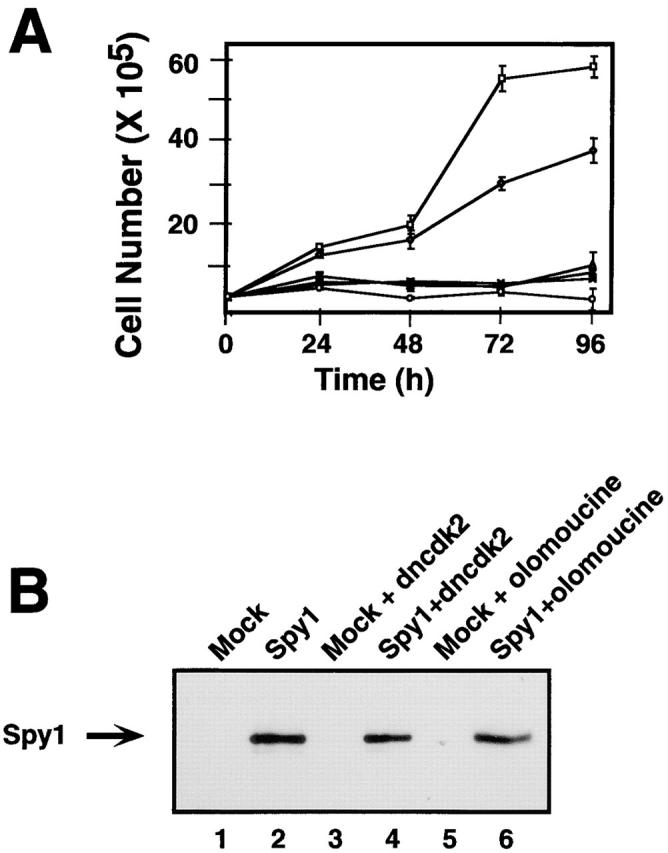 Spy1-enhanced growth is dependent on cdk2 activation. (A) Growth curve of 293T cells transiently transfected with Spy1 (□); mock (⋄); Spy1 + dncdk2 (cdk2D145N) (Δ); mock + dncdk2 (X); Spy1 + 7 μM olomoucine ( ∇ ); mock + 7 μM olomoucine (○). Error bars represent the SEM between triplicate plates of one representative experiment. This experiment was repeated three times. (B) Western blot of lysates from each sample at 96 h. The blot was then probed for myc–Spy1 expression.