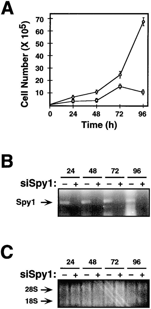 Endogenous Spy1 is required for normal cell growth. Spy1 RNA was depleted using RNA interference. (A) 293T cells were transiently transfected with siRNA directed against Spy1 (siSpy) (□) or siluc-GL2 control (siCntl) oligonucleotides (○). 24 h after transfection, triplicate plates were counted by trypan blue exclusion. The surviving cell number was graphed as an average of three plates (±SEM). (B) mRNA was isolated from remaining cells from each time point and was subjected to RT-PCR analysis. Lanes indicated with a plus have been treated with siSpy, and lanes indicated with a minus have been treated with siCntl. (C) Control 1.2% agarose formaldehyde gel demonstrating the quantity and quality of the mRNA used in B.