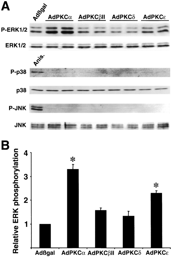 Overexpression of PKCα and ɛ induces ERK1/2 phosphorylation. (A) Western blot analysis for ERK1/2, p38, and JNK wild-type and phosphorylated forms in AdPKC-infected cardiomyocytes. Anisomycin was used as a control for JNK and p38 activation only. (B) Quantitation from three independent experiments demonstrates significant ERK1/2 activation induced by AdPKCα and ɛ infection compared with Adβgal infection. * P