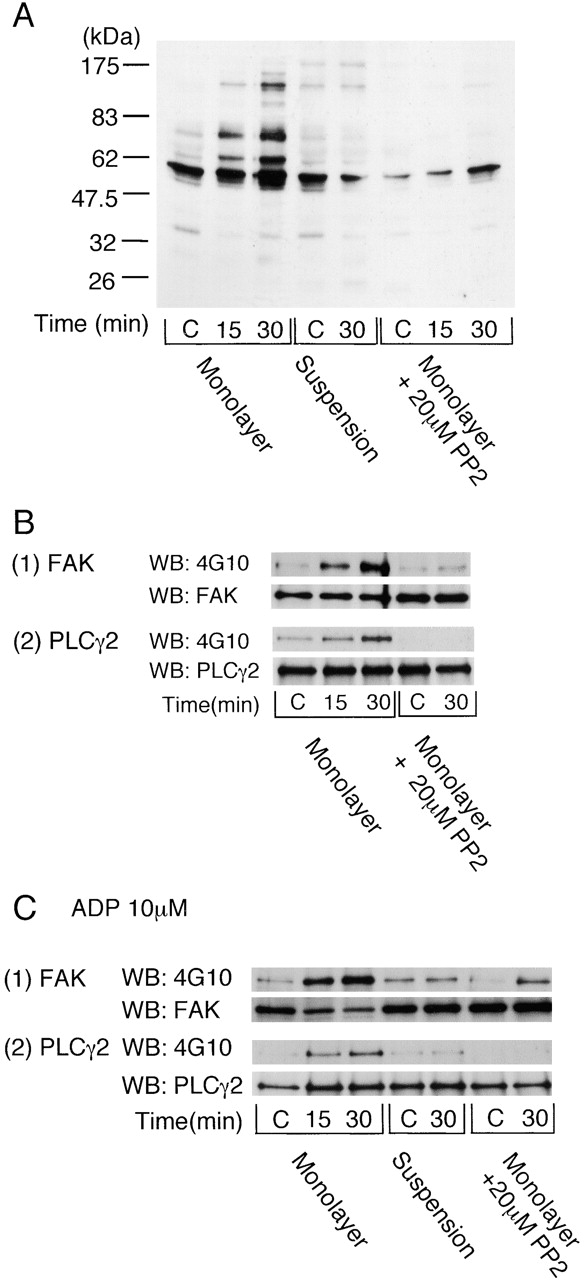 Integrin α 2 β 1 –mediated platelet spreading induces protein tyrosine phosphorylation. (A) Washed human platelets were pretreated with 100 μM EGTA, 10 μM indomethacin, 10 μM lotrafiban, and 3 U/ml apyrase. Where indicated, 10 μM ADP was added and apyrase omitted. Platelets were pretreated with 20 μM PP2 as shown. For adhesion studies, 500 μl washed platelets (4 × 10 8 /ml) was seeded on the dishes coated with 1% BSA (C, control) or 50 μg/ml GFOGER at 30°C for the indicated times. After removal of unbound platelets, adhered platelets were dissolved by 500 μl Laemmli sample buffer. Unbound platelets that had been exposed to a BSA-coated surface served as the zero time point. For suspension studies, 500 μl washed platelets (4 × 10 8 /ml) in a glass cuvette was stimulated with 10 μM ADP and then incubated with or without 50 μg/ml GFOGER for the indicated times with stirring at 30°C. After the protein concentrations of each sample were adjusted, proteins were separated by 8% SDS-PAGE, and protein tyrosine phosphorylation was blotted with 4G10. Results are representative of two separate experiments. (B) Washed human platelets (3 × 10 8 /ml) were pretreated with the inhibitors and stimulated as described above. Reactions were stopped by the addition of an equal volume of 2× lysis buffer without removing unbound platelets. FAK (1) or PLCγ2 (2) proteins were isolated by immunoprecipitation with anti-FAK pAb or anti-PLCγ2 pAb and blotted with 4G10, anti-FAK mAb, or anti-PLCγ2 pAb. Results are representative of three separate experiments. (C) Washed human platelets (3 × 10 8 /ml) were pretreated with 100 μM EGTA, 10 μM indomethacin, 10 μM lotrafiban, and 10 μM ADP. 20 μM PP2 was added as shown. Reactions were stopped, and FAK (1) or PLCγ2 (2) proteins were isolated by immunoprecipitation as described above. Results are representative of three separate experiments.