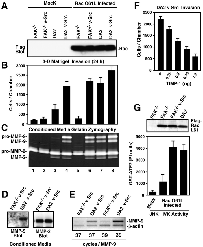 FAK and activated Q61L Rac synergize to promote JNK activation, increased MMP-9 expression, and an invasive cell phenotype. (A) Flag tag blotting was used to visualize Q61L Rac expression in the indicated Ad- infected cells. (B) Matrigel invasion assays were performed with the indicated Mock or Ad-Q61L Rac-infected cells. Values are means ± SD of triplicates from two independent experiments. (C) Gelatin zymography was performed with conditioned media from the indicated Mock or Ad-Q61L Rac-infected cells. Migration of pro and active forms of MMP-9 and MMP-2 are shown. (D) Conditioned media from FAK −/− v-Src or DA2 v-Src cells was concentrated, and MMP-9 or MMP-2 secretion was evaluated by blotting. (E) Semiquantitative RT-PCR was performed using primers to MMP-9 and to β-actin and showed that MMP-9 mRNA levels were 6.5-fold higher in DA2 v-Src compared with FAK −/− v-Src cells. (F) Matrigel invasion assays were performed with DA2 v-Src cells with the addition of recombinant TIMP-1 at the indicated concentration in the top chamber. Values are means ± SD of triplicates from two independent experiments. (G) JNK IP/IVK assays performed with lysates from FAK −/− cells or Ad-Q61L Rac-infected FAK −/− , FAK −/− v-Src, or DA2 v-Src cells. Values are means ± SD of duplicates from two independent experiments. Flag tag blotting of whole cell lysates was used to verify equivalent Q61L Rac expression.