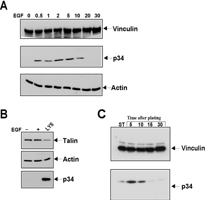 Factors that trigger membrane protrusion induce the association of the Arp2/3 complex with vinculin. (A and B) Growth factor treatment of cells. Serum-starved A431 cells were stimulated with buffer (0) or human EGF (100 ng/ml) for the times indicated (min). The cells were lysed and vinculin or talin was immunoprecipitated. 20% of resulting immunoprecipitates were subjected to Western blot analysis with antibodies against vinculin (A) or talin (B), 10% was used for the actin blots (A and B, bottom), and 70% was used for the blots of p34 subunit of the Arp2/3 complex (p34, bottom). LYS denotes a sample of whole cell lysate. (C) Cells spreading on FN. Hs68, human foreskin fibroblasts, were plated into each well of a FN-coated 6-well plate in serum-free DME. The cells were centrifuged onto the dish and allowed to recover at 37°C for the times indicated. The cells were lysed, vinculin was immunoprecipitated, and cells were blotted as described in A and B. ST, stationary cells that had been plated for 4 h on a similar concentration of FN.