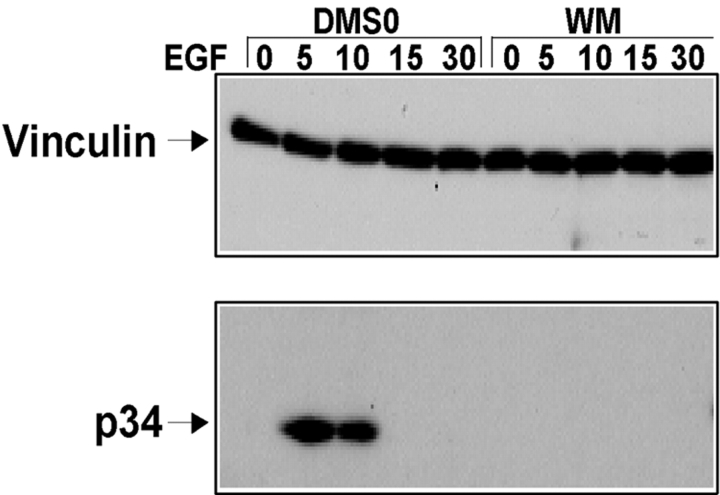 PI3K is required for recruitment of the Arp2/3 complex to vinculin. Effect of inhibition of PI3K by wortmannin (A) on recruitment of the Arp2/3 complex to vinculin. Serum-starved A431 cells were pretreated with DMSO or 100 nM wortmannin (WM) for 30 min and then left resting (0) or stimulated with EGF for the times indicated (min). Vinculin was immunoprecipitated and blotted for vinculin or p34-Arc as described in Fig. 1 .
