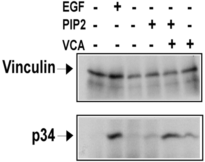 PIP 2 and GST-VCA induce binding of the Arp2/3 complex to vinculin. Serum-starved A431 cells were stimulated with buffer alone or with 100 ng/ml EGF for 5 min. The cells were lysed in 500 μl vol as described in the text, and the lysates were incubated in the presence of no exogenous proteins or 30 μg of GST, 10 mM PIP 2 , 10 mM PIP 2 +30 μg GST–VCA, or 30 μg of GST–VCA for 20 min at 4°C. Vinculin immunoprecipitates were prepared and analyzed as described above. In three independent experiments, compared with the level of Arp2/3 binding to vinculin in response to 5 min EGF stimulation (100%), the level of Arp2/3 complex recruitment in response to the various stimuli was 13% ± 7% (PIP 2 ), 27% ± 15% (GST–VCA), and 94% ± 11% (PIP 2 + GST–VCA).