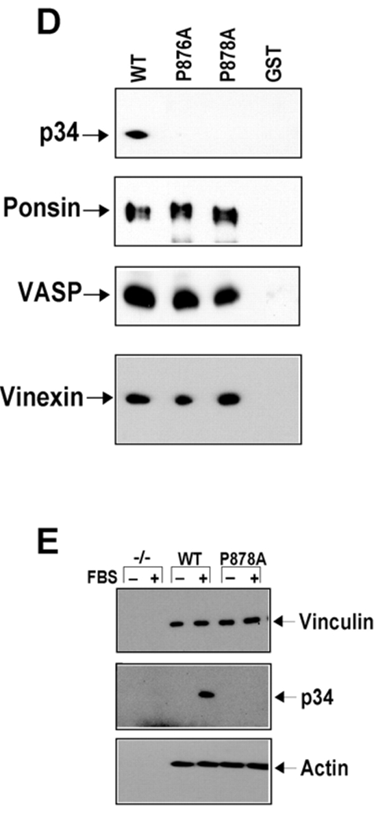 Mapping the Arp2/3 complex binding site of vinculin. (A) Linear schematic is shown of vinculin and the fragments of vinculin as fusion proteins of GST (GST–VIN). (B and C) Association of the Arp2/3 complex with GST–VIN proteins. Thirty micrograms of fusion protein attached to beads were incubated for 1.5 h in the absence (−) or presence (+) of 10 μl of a crude platelet fraction. The beads were sedimented, washed, and subjected to Western blot analysis as described. Note that in C, the binding of the Arp2/3 complex to vinculin fragments does not involve binding to actin. (D) Substitution of proline 878 or 876 with alanine prevents binding of the Arp2/3 complex to vinculin in vitro. 30 μg of GST or GST fusions of VIN 811–881, VIN 811–881 with a proline to alanine mutation at 876 (P876A) or at 878 (P878A) were examined for their ability to retrieve the Arp2/3 complex, ponsin, vinexin, or VASP from cell lysates obtained from platelets, MDCK, C2C12, or A431 cells, respectively. Different cell types were used for preparing the lysates because of failure to detect the antigens in some cell types. (E) Full-length vinculin harboring a proline to alanine mutation at 878 prevents recruitment of the Arp2/3 complex, but has no effect on actin binding. Serum-starved, Vin−/− MEFs expressing an empty vector (−/−), full-length vinculin (WT), or full-length vinculin with a P878A substitution (P878A) were left resting (−) or stimulated (+) with 10% FBS for 5 min, vinculin immunoprecipitates were obtained and analyzed.