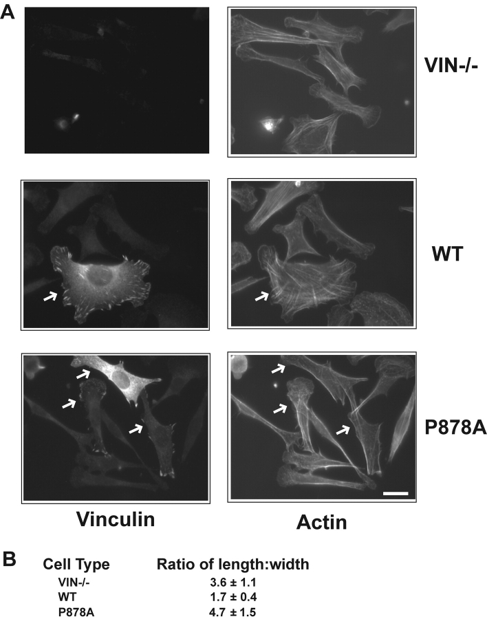 A <t>vinculin</t> mutant unable to associate with the Arp2/3 complex is impaired in lamellipodial extension and spreading on fibronectin. Vinculin null cells reexpressing vector alone (Vin−/−), WT or mutant vinculin (P878A) were allowed to spread onto 50 μg/ml of FN for 120 min (A) and then examined by immunofluorescence with antibodies against vinculin or using Alexa-conjugated phalloidin. The white arrows indicate the transfected cells. Bars, 20 μm. (B) the extent of spreading was quantified by expressing the ratio ± SD of the length/width of 50 cells at the 120-min time point. The WT reexpressing cells are significantly more spread than either the null or mutant reexpressers (P