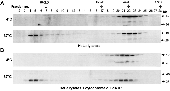 Caspase-2 is recruited to a large protein complex. HeLa cell lysates were subjected to size exclusion chromatography (A and B). Aliquots from the fractions were analyzed by immunoblotting using the monoclonal antibody 11B4 that recognizes the p19 subunit and full-length caspase-2. Cells were lysed in buffer A and incubated at 4 or 37°C for 60 min before loading onto the column. In B, lysates were incubated at 4 or 37°C for 2 h with 2 μg cytochrome c and 2 mM dATP. The elution positions of the markers on the Superdex 200 column are indicated. The positions of the SDS-PAGE prestained M r standards are indicated on the right of the blots. The smaller caspase-2 immunoreactive band is prodomain+p19 processing intermediate that is often detected in cell lysates, probably due to some processing of procaspase-2 during cell harvesting and lysis.