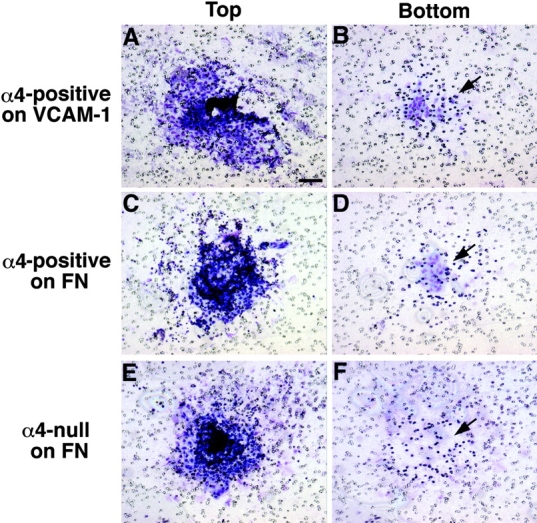 Adhesion and migration of PS explant cells in Boyden chambers. PS explants from α4-positive (A–D) or -null (E–F) embryos were placed on membranes coated with VCAM-1 (A and B) or <t>fibronectin</t> (C–F). After overnight incubation, each explant was photographed (A, C, and E) and removed from the top side; the bottom side was then photographed (B, D, and F). Note the nuclei of explant cells that adhered to VCAM-1 and fibronectin (A, C, and E) and migrated through pores (B and D, arrows). α4-null explant cells failed to migrate through pores (F, arrow). FN, fibronectin. Bar, 0.1 mm.