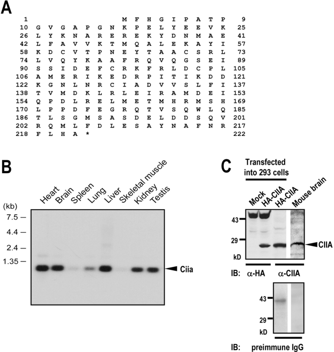 Primary structure of <t>CIIA.</t> (A) Predicted amino acid sequences of the mouse CIIA. The cDNA sequence data of the mouse CIIA are available from GenBank/EMBL/DDBJ under accession no. AF373710 . (B) Distribution of the CIIA transcript in mouse tissues. A multiple-tissue Northern blot membrane was probed with 32 P-labeled <t>BamHI–AccI</t> fragment (714 bp) of mouse CIIA cDNA. (C) Immunodetection of CIIA protein in adult mouse brain tissue. 50 μg cell lysates were analyzed by immunoblot (IB) using a rabbit preimmune IgG or anti-CIIA antibody. The anti-CIIA antibody was produced from rabbits immunized with hexahistidine (His)-tagged CIIA and affinity-purified. Immunoblots with anti-HA antibody of the lysates from 293T cells transfected with pcDNA3-HA empty vector or pcDNA3-HA-CIIA were also shown.