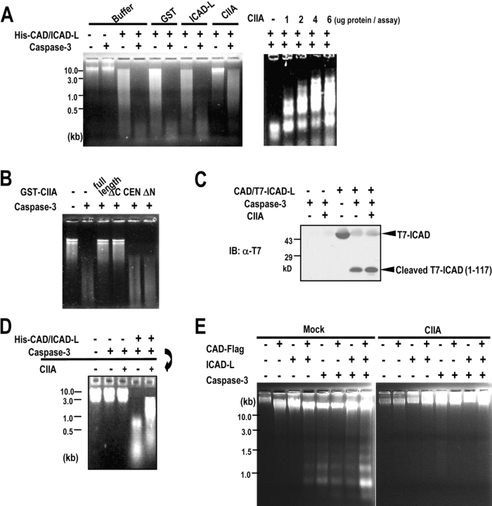 CIIA inhibits the nuclease activity of CAD. (A) In vitro nuclease activity of CAD was examined by incubating 1 μg His-CAD–ICAD-L complex and 5 μg Jurkat chromosomal DNA with 2 μg GST, 2 μg GST-ICAD-L, or 2 μg in left panel or the indicated amounts in right panel of GST-CIIA in the absence or presence of caspase-3. (B) In vitro nuclease activity of CAD was examined in the presence of 2 μg GST-fused CIIA variants as in A. (C) 1 μg CAD–T7-ICAD complex was treated with 200 ng recombinant caspase-3 in the absence or presence of 4 μg GST-CIIA for 2 h at 37°C. The reaction mixture was analyzed by SDS-PAGE and immunoblotting with mouse anti-T7 mAb. (D) 1 μg His-CAD–ICAD-L complex was pretreated with 200 ng caspase-3 for 2 h at 37°C, where indicated, and examined for the nuclease activity of CAD in the absence or presence of 2 μg GST-CIIA. (E) Overexpressed CIIA inhibits the nuclease activity of CAD in 293T cells. 293T cells were transfected for 48 h with indicated combinations of expression vectors encoding CAD-Flag, ICAD-L, constitutively active caspase-3, and HA-CIIA. Chromosomal DNA from the transfected cells was examined for DNA fragmentation ( Liu et al., 1998 ).