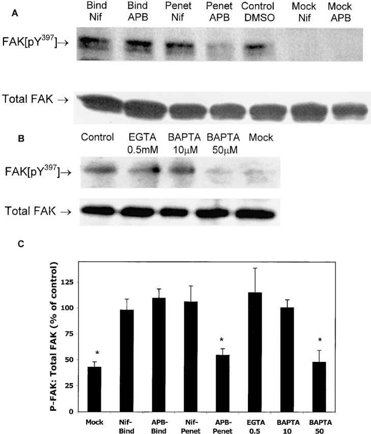 2-APB and BAPTA-AM prevent viral-induced FAK phosphorylation. CaSki cells were serum starved overnight, and a synchronized infection with HSV-2(G) was conducted as described in Materials and methods. 100 μM 2-APB, 10 μM nifedipine, or control buffer (5% DMSO) was added to cells at the time of binding or penetration (temperature shift, 15 min, 37°C). Cells were treated with low pH citrate buffer, washed, and cell lysates were prepared 10 min after citrate treatment. Western blots were prepared, probed with anti-FAK pY 397 , and scanned by optical densitometry. Blots were then stripped and reprobed with mAb to total FAK. A representative blot is shown in A. Alternatively, cells were pretreated for 2 h with BAPTA-AM, EGTA, or 5% methanol in PBS (control), and then exposed to HSV-2(G). (B) Lysates were prepared 5 min after infection and analyzed by Western blotting for FAK phosphorylation. (C) Results obtained from three independent experiments are summarized graphically as odu of phosphorylated FAK:odu total FAK as a percentage of control (HSV-2(G) in the absence of any inhibitors). Results are the mean ± SD obtained from three independent experiments; asterisks indicate P