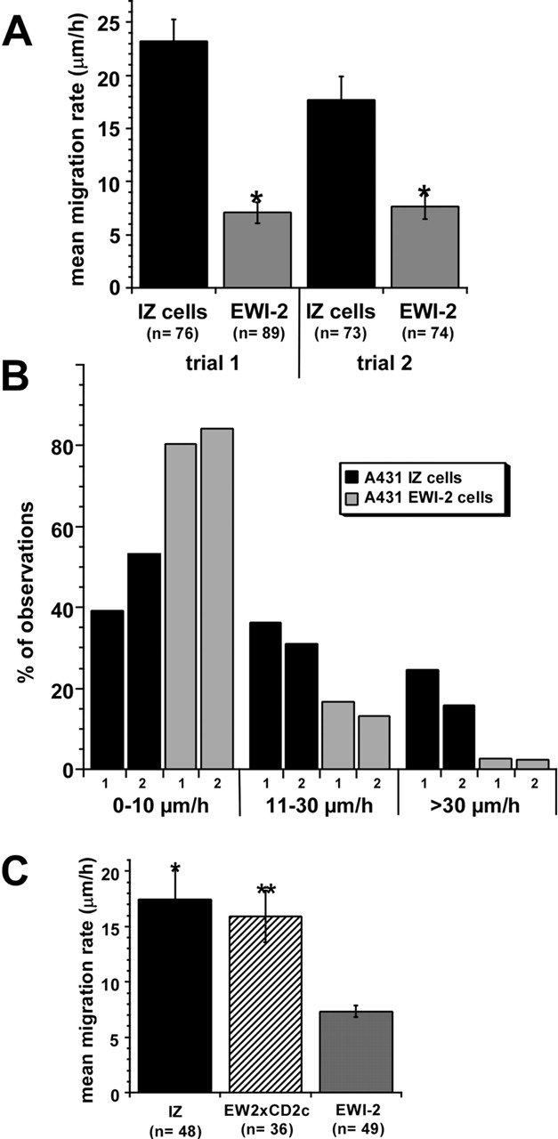 Impaired migration of A431 EWI-2 cells on laminin-5. (A) In two separate trials, XY locations of individual cells were determined once every 10 min using Scion Image v1.62 software, and the average migration rate was calculated from the series of XY measurements using KaleidaGraph v3.05 software (Abelbeck Software). A431 EWI-2 cells migration rates were 60–70% lower than those of A431 IZ control cells (*, P