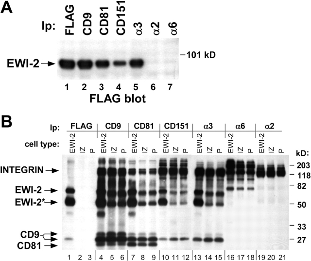 EWI-2 associates with tetraspanins and α 3 β 1 integrin. (A) A431 EWI-2 cells (∼5 × 10 6 ) expressing FLAG-tagged EWI-2 were lysed in 1% Brij 96. Equal volumes of the lysate were used for immunoprecipitations with anti-FLAG agarose or with anti-integrin or -tetraspanin antibodies. The blot was developed with biotinylated anti-FLAG antibody followed by HRP-ExtrAvidin ® to detect coprecipitating EWI-2. (B) A431 EWI-2 cells (EWI-2), A431 IZ cells (IZ), and A431 parental cells (P) were labeled with sulfo-NHS biotin and lysed in 1% Brij 96. Lysates were immunoprecipitated with anti-FLAG agarose or antibodies to the indicated tetraspanins and integrins, followed by blotting with HRP-ExtrAvidin ® . EWI-2* designates a 50-kD EWI-2 cleavage product, and two electrophoretic forms of CD9 are indicated. ∼7 × 10 5 cell equivalents were used for each immunoprecipitation. Flow cytometry results confirm that CD9, CD81, CD151, and α3β1 expression levels are similar in the different cell types. The bands of ∼210 kD in the α6 lanes (16–18) and CD151 lanes (10–12) correspond to integrin β4, a major α6 partner in A431 cells ( Rabinovitz et al., 1999 ). α6β4 is known to associate with CD151 ( Sterk et al., 2000 ). Densitometry indicated an approximate fourfold increase in α3-associated EWI-2 upon EWI-2 overexpression. Similar results were obtained in two independent experiments.