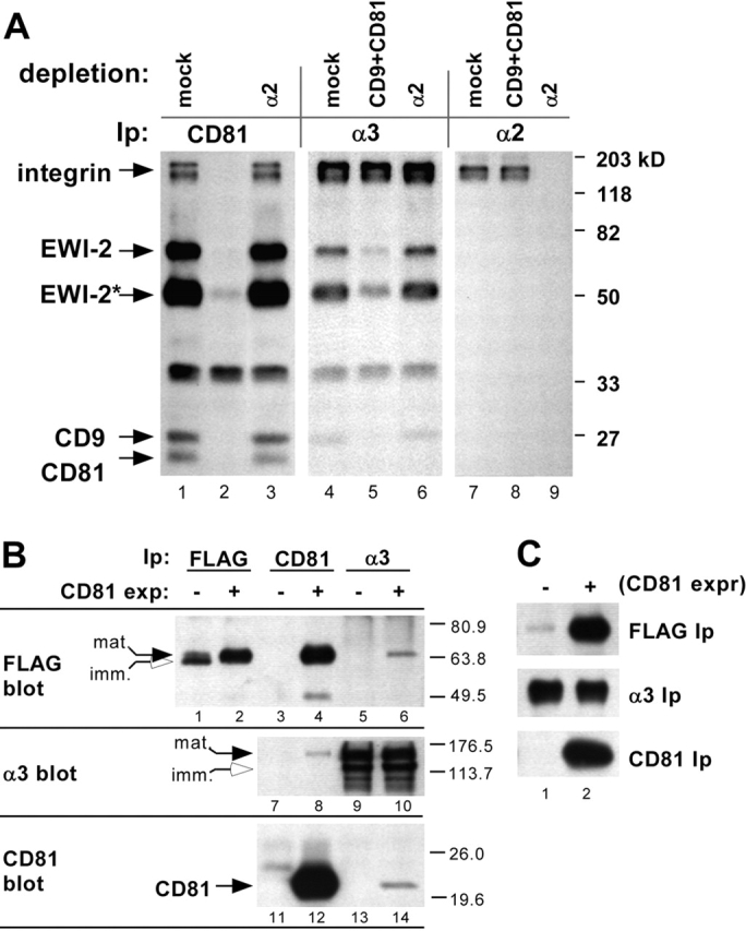 Tetraspanins support EWI-2- α 3 β 1 integrin association. (A) ∼10 7 A431 EWI-2 cells were labeled with sulfo-NHS biotin and lysed in 1% Brij 96. Equal portions of lysate were depleted three times with protein G alone (mock) or with protein G plus anti- tetraspanin or α2 integrin antibodies. Depletions are indicated at the top of the figure. Depleted lysates were further divided and immunoprecipitated with anti-CD81, anti-α3 integrin, or anti-α2 integrin antibodies conjugated to agarose followed by SDS-PAGE and blotting with HRP-ExtrAvidin ® . EWI-2* is a 50-kD EWI-2 cleavage fragment. Densitometry revealed that CD9 and CD81 depletion removed only ∼10% of total α3 integrin, but ∼85% of the α3-associated EWI-2. Densitometry of an independent experiment confirmed that only ∼10% of α3 is CD81-associated in A431 cells (not depicted). (B) U937 cells lacking CD9 and CD81 were transduced with CD81 and EWI-2 retroviral expression vectors and selected to obtain stable (CD81−, EWI-2+) or (CD81+, EWI-2+) cell lines. Then, both cell types were super-infected with an α3 integrin retroviral expression vector, to yield equivalent α3 expression levels, as confirmed by flow cytometry (not depicted). EWI-2 (M2 anti-FLAG mAb), CD81 (M38 mAb), or α3 integrin (A3X8 mAb) were immunoprecipitated from 1% Brij 96 lysates of CD81 − or CD81 + cells. Immunoprecipitates were blotted for EWI-2 (biotinylated M2 anti-FLAG mAb), α3 integrin (D23 pAb), or CD81 (M38 mAb). Apparent mature and immature forms of EWI-2 and α3 integrin are indicated with filled and open arrows, respectively. 6 × 10 6 cell equivalents were analyzed in EWI-2 and CD81 immunoprecipitations, and 4.8 × 10 7 cell equivalents in the α3 immunoprecipitations. (C) Biotinylated CD81 − or CD81 + cells were lysed in 1% Brij 96, and EWI-2 (FLAG), α3 integrin, or CD81 were immunoprecipitated as above. Cell surface–labeled proteins were revealed by HRP-ExtrAvidin ® blot. 1.7 × 10 6 cell equivalents were analyzed in each immunoprecipitation.