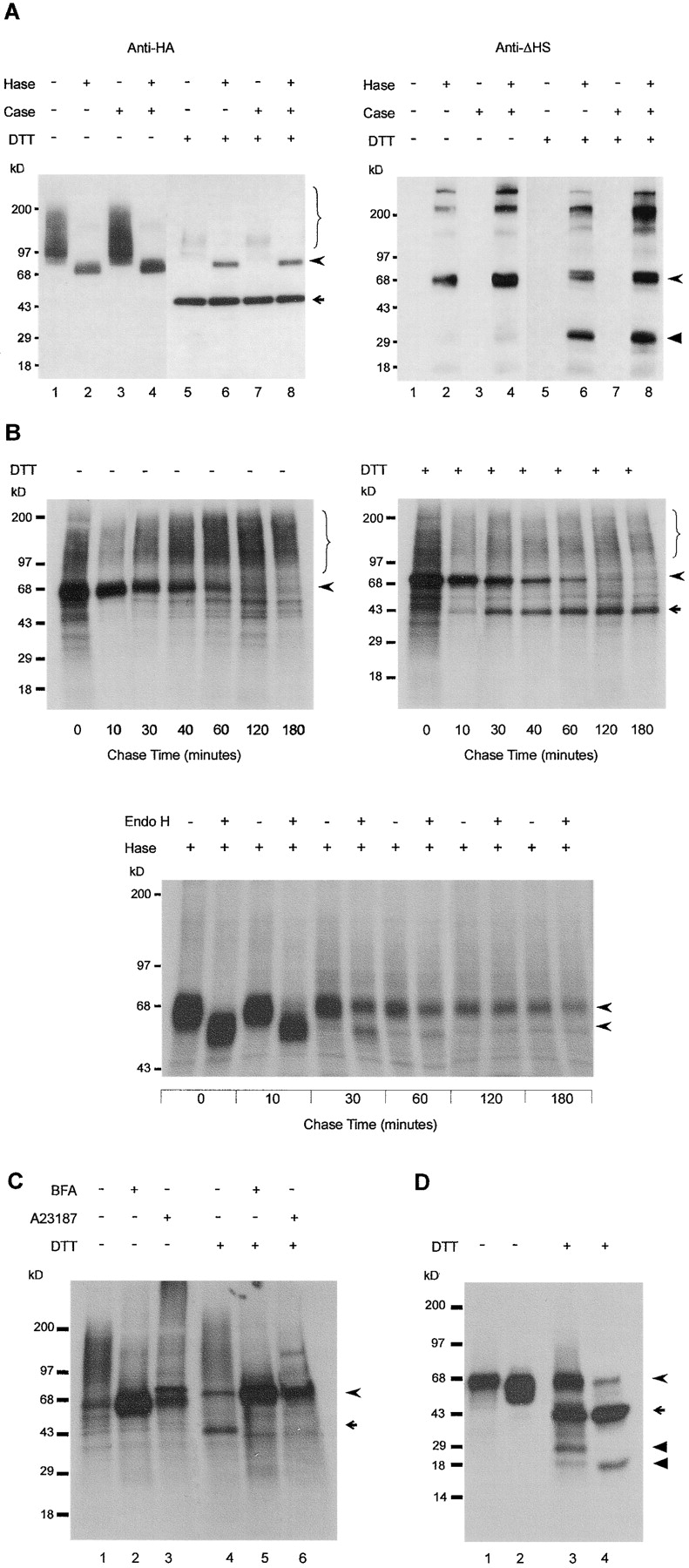 Posttranslational modification of GPC3 in MDCK cells. Total proteoglycan or GPC3 isolated from stable transfectant cells was treated with heparitinase (Hase), chondroitinase ABC (Case), or endoglycosidase H (Endo H) as indicated, and fractionated by SDS-PAGE under reducing (DTT) or nonreducing conditions. (A) Two-subunit structure of GPC3. Western blots of total proteoglycan extract, using rat anti-HA mAb 3F10 to detect GPC3, and anti-ΔHS mAb 3G10 to detect the desaturated uronates that are generated by heparitinase and that remain in association with the core proteins. (B) Time course of the GPC3 maturation. Cells were pulse labeled with [ 35 S]cysteine-methionine for 10 min and chased for the indicated time periods. GPC3 from cell lysates, isolated using anti-HA antibody, was detected by autoradiography. Unreduced (left) and reduced (right) non enzyme-treated samples (top), and reduced glycosidase-treated samples (bottom) reveal that the HS substitution, proteolytic processing, and Endo H–resistant N-glycosylation of GPC3 follow similar time courses. (C) Inhibition of GPC3 processing by blocking ER export or calcium depletion. Cells were incubated for 6 h with (+) or without (−) 30 μM BFA or 2 μM A23187, pulse-labeled for 10 min, and chased for 60 min. GPC3 immunopurified from cell lysate was detected by autoradiography. (D) Endoproteolytic processing of GPC3ΔHS. Labeled HA-GPC3ΔHS was immunoprecipitated from the cell lysate (lanes 1 and 3) and the conditioned medium (lanes 2 and 4). Braces show glycanated GPC3, curved arrowheads indicate the GPC3 core protein, arrows indicates the ∼40-kD NH 2 -terminal (HA-tagged) α-subunit, and arrowheads indicate the COOH-terminal β subunit that is separated from the α-subunit by reduction. Numbers on the left represent molecular mass markers.