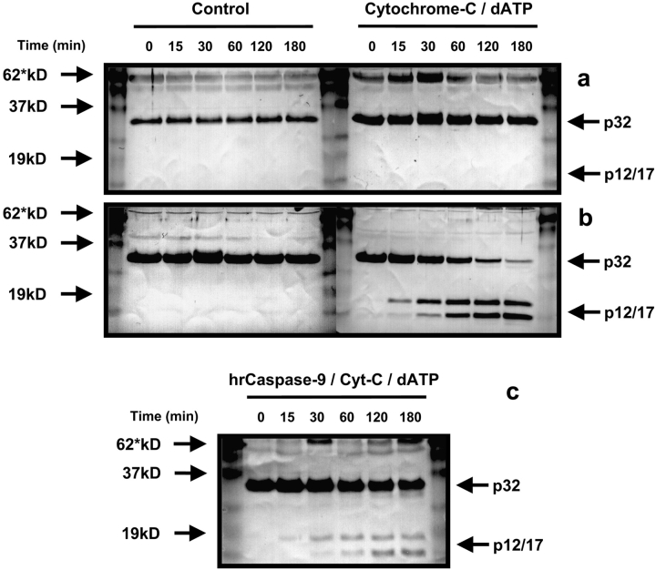 Exogenous cytochrome c /dATP fails to promote caspase-3 processing within platelet lysates. Cytosolic extracts were treated with cytochrome c and dATP or buffer alone and incubated at 37°C. (a) Western blot analysis of platelet lysates revealed a failure of cytochrome c /dATP to promote the processing of caspase-3. (b) By contrast, Jurkat T cell lysates showed progressive processing of the enzyme to the proteolytically active p17/p12 fragments. (c) On addition of human recombinant <t>caspase-9</t> and cytochrome c /dATP to fresh platelet lysates, derived from the same preparation used above, caspase-3 was now processed to its active p17/p12 subunits. Each Western blot had 50 μg of protein loaded per lane and was repeated twice.