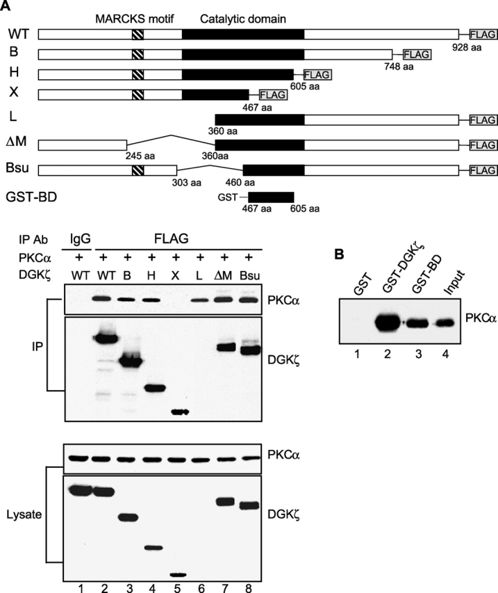 A portion of the catalytic domain of DGK ζ is sufficient to bind PKC α . (A) PKCα was transfected into HEK293 cells along with wild-type (WT) DGKζ or deletion mutants of DGKζ (B, H, X, L, ΔM, and Bsu) containing FLAG epitope tags at their COOH termini. DGKζ proteins in the cell lysates were immunoprecipitated with anti-FLAG or a control antibody (mouse IgG), and coimmunoprecipitation of PKCα was detected by immunoblotting. The blot was then stripped and reprobed with anti-DGKζ. Because the DGKζ antibody we used was the NH 2 -terminal anti-peptide rabbit antibody, we could not detect the NH 2 terminus deletion DGKζ mutant L (lane 6). However, we detected DGKζ L protein in the same blot using anti-FLAG antibody (not depicted). Expression of PKCα and DGKζ in the cell lysates is also shown. (B) Purified recombinant PKCα was incubated with the glutathione-sepharose–bound GST (lane 1) or GST fusion proteins that contain either full-length DGKζ (GST–DGKζ, lane 2) or a portion of the catalytic domain of DGKζ (GST–BD, lane 3). The beads were collected by centrifugation, and then the proteins bound to beads were subjected to immunoblot analysis with anti-PKCα. Input represents 5% of initial recombinant PKCα used in this experiment.