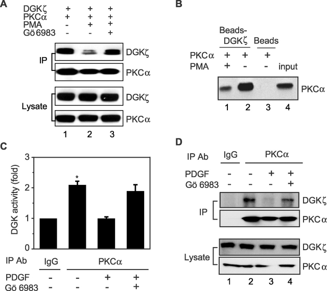 Activation of PKC α impairs its association with DGK ζ . (A) HEK293 cells transfected with PKCα and DGKζ–FLAG were stimulated with PMA or vehicle for 30 min. DGKζ in the cell lysates was immunoprecipitated by anti-FLAG, and coimmunoprecipitation of PKCα was detected by immunoblotting. To inhibit PKC activity, cells were treated with Gö 6983 for 10 min before PMA stimulation. The blot was then stripped and reprobed to detect DGKζ. Expression of DGKζ and PKCα in the cell lysates is also shown. (B) Purified recombinant PKCα was incubated with purified DGKζ–FLAG bound to anti–FLAG-M2 agarose affinity gel or with affinity gel alone in PKC assay buffer (containing phosphatase inhibitors) in the presence or absence of PMA. After 2 h, the beads were washed, and proteins bound to beads were immunoblotted to detect PKCα. Input represents 5% of the initial recombinant PKCα. (C) A172 cells, treated with either 50 ng/ml of PDGF or vehicle for 30 min, were lysed, and then endogenous PKCα proteins were immunoprecipitated with anti-PKCα or normal rabbit IgG as a control. The precipitates were then used for DGK activity assays. To inhibit PKC activity, the cells were treated with Gö 6983 before PDGF stimulation. Data are expressed as the mean ± SEM of three independent experiments. An asterisk indicates P