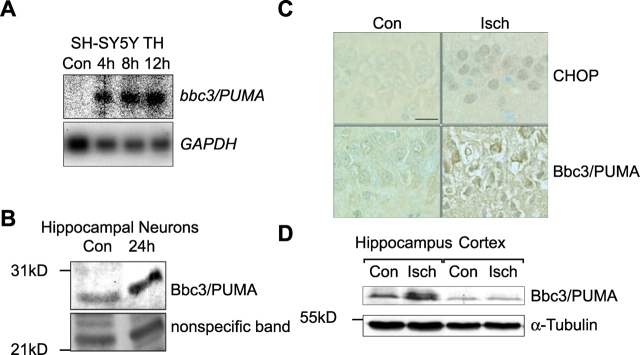 Induction of Bbc3/PUMA is a general cellular response to prolonged ER stress. (A) Induction of bb33/PUMA mRNA in human SH-SY5Y neuroblastoma cells in response to thapsigargin (TH; 1 μM). Controls (Con) were treated with vehicle (DMSO, 24 h). (B) Bbc3/PUMA protein is expressed in primary hippocampal neurons after tunicamycin treatment. Cultures were treated for 24 h with 3 μM tunicamycin or vehicle. An unspecific band of ∼24 kD served as loading control. (C) Top, increased expression of the ER stress–specific transcription factor CHOP detected by immunohistochemistry in the selective vulnerable CA1 hippocampal subfield of rats subjected to transient forebrain ischemia (Isch). Increased expression of CHOP was detectable as early as 1 h postischemia. Bottom, expression of Bbc3/PUMA is increased in dying CA1 hippocampal pyramidal neurons 5 d after transient forebrain ischemia. Sham-operated animals served as respective controls. Bar, 25 μm. (D) Western blot analysis of Bbc3/PUMA expression in hippocampus and neocortex tissue homogenates 72 h after transient forebrain ischemia (Isch) or sham surgery (Con). Similar results were obtained in a second experiment.
