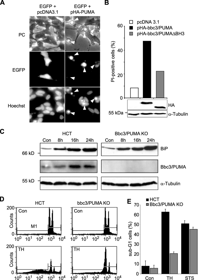 Expression of bbc3/PUMA may be sufficient and required for ER stress–induced apoptosis in human cells. (A) Transient transfection of SH-SY5Y neuroblastoma cells with bbc3/PUMA leads to induction of apoptosis. Cells were cotransfected with expression plasmids encoding enhanced GFP (pEGFP) and either a hemagglutinin-tagged (HA) version of bbc3/PUMA (pHA-PUMA) or empty vector (pcDNA3.1). 12 h after transfection, cells were fixed and stained with Hoechst 33258. Arrowheads point to transfected cells with the apoptotic phenotype. Similar results were obtained in a separate experiment. (B) Quantitative FACS ® analysis of PI uptake of EGFP-positive SH-SY5Y cells transiently cotransfected with expression vectors encoding hemagglutinin-tagged (HA) versions of Bbc3/PUMA, Bbc3/PUMA-ΔBH3, or empty vector (pcDNA3.1). Data were normalized to EGFP-only transfected controls and represent 10,000 events each. For evaluation of comparable transfection rates, whole-cell extracts of cells harvested 16 h after transfection were analyzed by Western blotting. Blots were probed with an anti-hemagglutinin or anti- α-tubulin antibody as loading control. (C) Protein levels of BiP, Bbc3/PUMA, and α-tubulin in human HCT116 control and Bbc3/PUMA-deficient cells treated with 1 μM <t>thapsigargin</t> or vehicle for the indicated time points. (D) FACS ® analysis of sub-G1 cells of human HCT116 control and Bbc3/PUMA-deficient cells exposed to 1 μM thapsigargin (TH) or vehicle for 36 h. (E) Quantitative FACS ® analysis of thapsigargin- and STS (3 μM)-induced apoptosis. Data from 10,000 events each are means ± SEM from n = 3 separate experiments per time point.