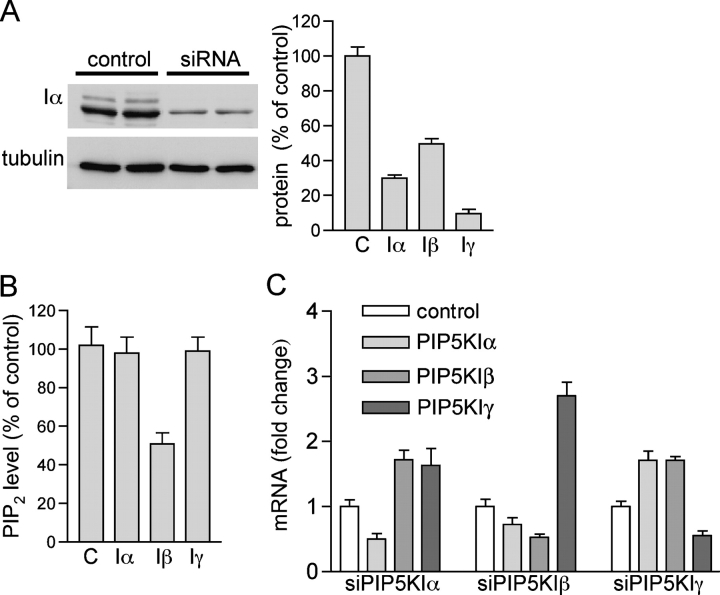 Small interfering <t>RNA</t> specific for PIP5KI β (but not α or γ ) reduces PIP2 levels in HeLa cells. HeLa cells were transfected with siRNA oligos targeting the α, β, or γ isoforms of PIP5KI or an irrelevant sequence (control, C). Western blots with antibodies specific for the respective protein and tubulin (loading control) were performed 48 h after transfection. (A) An example of a Western blot specific for PIP5KIα is shown. Similar blots were quantified by densitometry, and the values are presented graphically. (B) PIP2 levels in cultures transfected with siRNAs specific for the enzymes shown were measured as described in Fig. 1 B. (C) <t>mRNA</t> for each enzyme in cells treated with siRNA specific for one isoform were measured by real-time PCR. For each isoform, values in A and B are expressed as a percentage of the value measured in the control transfected with unrelated siRNA. All graphs present the averages of at least three experiments with SD.