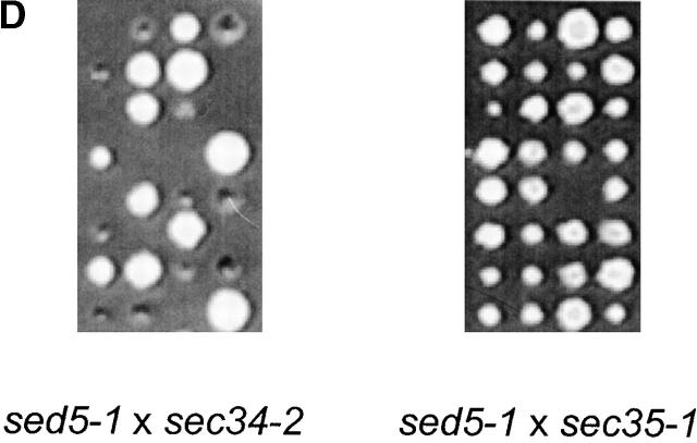 Sec34p and Sed5p interact genetically and physically. (A) Coimmunoprecipitations of putative partners of the Sec34/35 complex. A P100 membrane fraction (Total) from RSY1157 was solubilized in 20 mM Hepes-KOH, pH 7.4, with 0.1 M NaCl and 1% CHAPS. The extract was incubated with protein A Sepharose beads, to which different primary antibodies had been crosslinked. Rabbit IgGs were used as a control for unspecific binding. After washing of the beads, specifically bound proteins were eluted, run on 11%SDS-PAGE, and analyzed by immunoblotting. Two representative experiments performed under identical conditions are shown. Membranes (3% of total) were loaded on the first lane. Approximately 15% of Sec34p and 40% of Sec35p were recovered in the corresponding IP. Approximately 0.2% of Sed5p was specifically coprecipitated in both Sec34 and Sec35 IP's. (B) The Sec34/Sec35 complex interacts with Sed5p in vitro. Purified GST, GST-Sed5p, or GST-Sso1p (5 μg each) were mixed with 0.2 μg of purified Sec34/35 complex in 0.5 ml binding buffer, incubated for 3 h at 4°C, and centrifuged at 20,000 g for 10 min. The supernatant (0.45 ml) was incubated for 1 h at 4°C with 20 μl glutathione–Sepharose beads in the same buffer. Beads were washed and bound proteins were eluted with 10 mM glutathione, separated by 10% SDS-PAGE, and immunoblotted with affinity-purified antibodies to Sec34p and Sec35p. (C) Physical in vitro interaction of Sec34p with Sed5p. Purified proteins (as in B) were bound to glutathione–Sepharose beads, mixed with 5 μg of His 6 -Sec34p in 0.5 ml of binding buffer and incubated for 3h at 4°C with rotation. Beads were washed and bound proteins were eluted with 10 mM glutathione, separated by 11% SDS-PAGE and stained with Coomassie blue. Approximately 10% of His 6 -Sec34p were recovered with GST-Sed5p bound to glutathione–Sepharose beads under conditions used. (D) The sed5–1 and sec34–2 alleles display a synthetic lethal interaction. Diploid strains resulting from the mating of GWY234 ( sed5–1 ) with GWY95 ( sec34–2 ) (top) or GWY235 ( sed5–1 ) with GWY93 ( sec35–1 ) (bottom) were sporulated, tetrad dissected, and incubated on YPD plates at 30°C for 3 d. Eight representative tetrads for each dissection are shown.